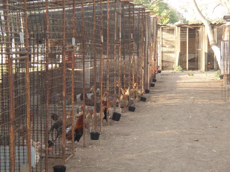 Pelea de gallos - Wikipedia, la enciclopedia libre